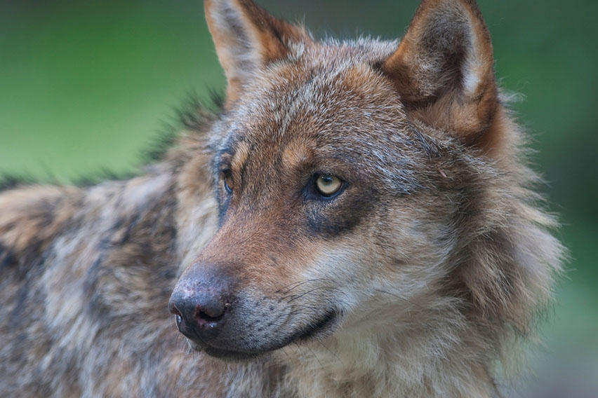 волчица найя